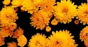 Plantas caseiras que purificam o ar: crisântemo é uma delas.