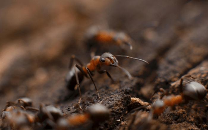 Imagem de formigas na terra para ilustrar post sobre como eliminar formigas