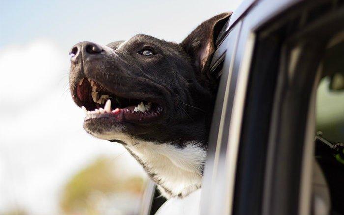 Imagem de cachorro na janela do carro para ilustrar texto sobre cinto de segurança para cachorro